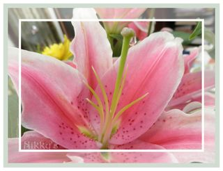 Stargazer lily for blog