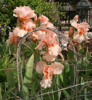 Craftynikky coral irises