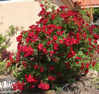 8 feet tall rose bush 2-2914