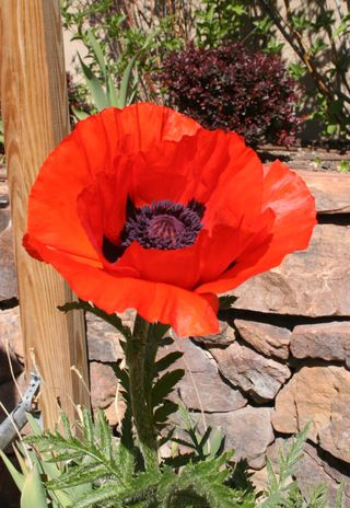 Craftynikky first huge poppy flower May 4, 2014
