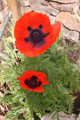Craftynikky poppies