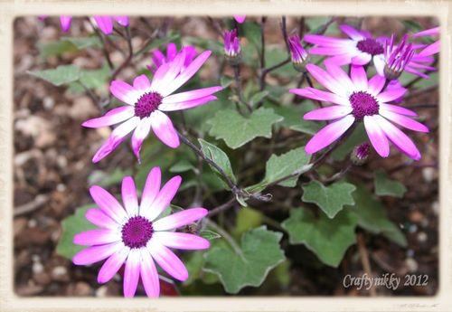 Cineraria close up