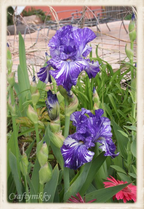 Finally opened up irises mid april 2012
