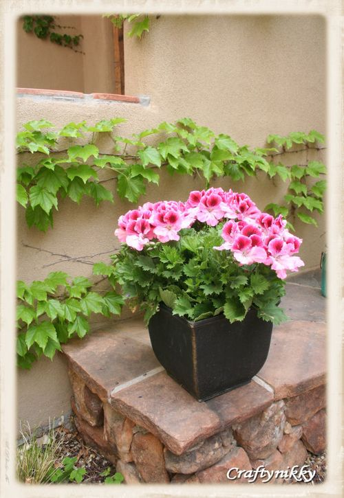 Kind of geranium that is stunning to look at